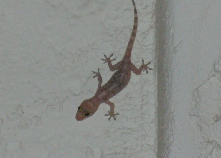 Gecko_on_a_wall