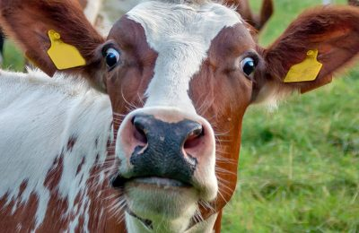 GettyImages-513451393-1120-cow